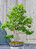 Bonsai tree on display — Stock Photo