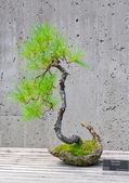 Bonsai tree on display — Stock Photo