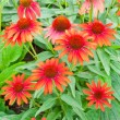 Foto de Stock  : Red echinaceflowers
