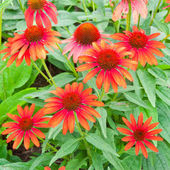 Red echinacea flowers — Stock Photo