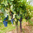 Stockfoto: Grapes on Vine
