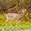 Whitetail deer in autumn forest — Stock Photo