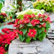 Red and white poinsettias, Christmas flowers — Stock Photo #37557347