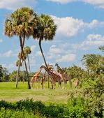 Zürafalar hayvanlar alemi park. — Stok fotoğraf