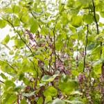 Closeup of redbud tree with seeds. — Stock Photo #47719425