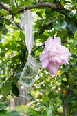 Pink peony flowers  in a glass jar. — Stock Photo