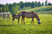 Horses at horse farm. Country landscape. — Stock Photo