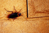 Cockroaches — Stock Photo