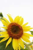 Sunflower — Foto Stock