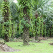 Oil palm plantation — Stock Photo #32066285