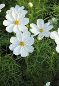 Fleurs de cosmos — Photo
