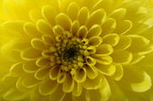 Macro of yellow flower aster — Zdjęcie stockowe