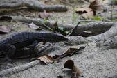 Lucertola acquatica in malesia — Foto Stock