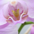 Pink orchid flowers — Stock Photo