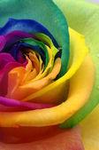 Close up of rainbow rose heart — Stock Photo