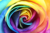 Close up of rainbow rose flower — Stock Photo