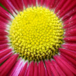 Macro of pink and yellow daisy flower — Stock Photo