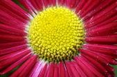 Macro of pink and yellow daisy flower — Stock Photo