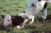 Cow licking her new born calf — Stock Photo