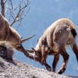 Two alpine ibex fighting in French Alps, France — Stock Photo