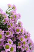 Purple daisy flowers — Stock Photo