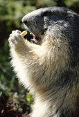 Marmot standing and eating a piece of bread — Stock Photo