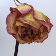 Stock Photo: Faded Rose flower