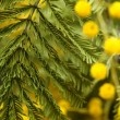 Close up of mimosa flowers — Stockfoto