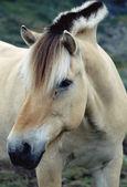 Fjord horse stallion in Norway — Stock Photo