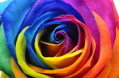 Rainbow rose or happy flower — Stockfoto