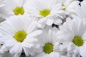 White daisy flower bouquet — Stock fotografie