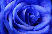 Details of blue flower rose — Stock fotografie
