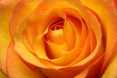 Close up of orange rose flower — Stock Photo