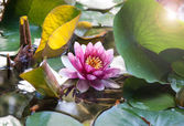 Beatiful water lily whith leans flare — Stock Photo