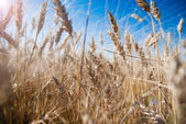 Background of wheat ears and blue sky with lens flare effect — Stock Photo