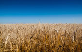 Background of wheat ears and blue sky. Metaphorical Flag of Ukra — Stock Photo