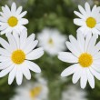 White daisy — Stock Photo #13960393