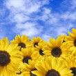 sunflowers with drops ahead blue sky whit clouds — Stock Photo