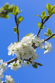 Blossoming cherry branch with white flowers — Stock Photo