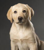 Beautiful Labrador retriever isolated on black background — Stock Photo