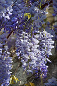 Wisteria plant during spring — Stock Photo