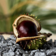 Stock Photo: Chestnut001