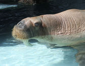 Watching Walrus — Stock Photo