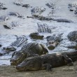 Alligators near water — Stock Photo