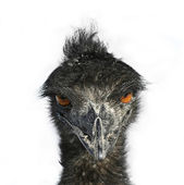 Emu Eyes — Stock Photo