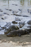 Alligators near water — Stock Photo