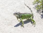 Green iguana in the wild — Stock Photo