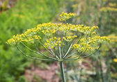 Fresh dill plant on a garden — Stock Photo