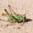 Green grasshopper perching on a gravel — Stock Photo