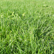 Dewy green grass field on a garden — Stock Photo